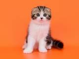 Кішки, кошенята Шотландська висловуха, ціна 5700 Грн., Фото