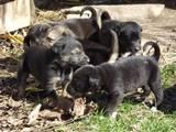 Собаки, щенята Німецька вівчарка, ціна 650 Грн., Фото