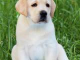 Собаки, щенята Лабрадор ретрівер, ціна 6000 Грн., Фото