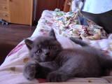 Кошки, котята Шотландская короткошерстная, цена 350 Грн., Фото