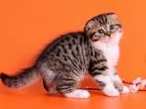 Кошки, котята Шотландская вислоухая, цена 4200 Грн., Фото