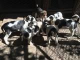 Собаки, щенята Російський хорт, ціна 1250 Грн., Фото