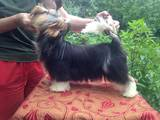 Собаки, щенки Йоркширский терьер, цена 38000 Грн., Фото