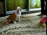 Собаки, щенята Англійський бульдог, ціна 4500 Грн., Фото