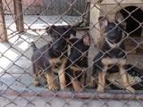 Собаки, щенки Немецкая овчарка, цена 1200 Грн., Фото