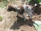 Собаки, щенята Німецька гладкошерста лягава, ціна 600 Грн., Фото