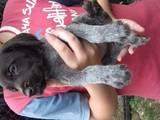 Собаки, щенки Немецкая жесткошерстная легавая, цена 600 Грн., Фото