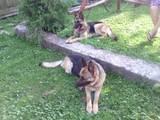 Собаки, щенки Немецкая овчарка, цена 1800 Грн., Фото