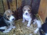 Собаки, щенята Естонський гончак, ціна 500 Грн., Фото