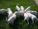 Собаки, щенята Аргентинський дог, ціна 12000 Грн., Фото