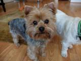 Собаки, щенята Йоркширський тер'єр, ціна 10 Грн., Фото