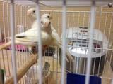 Папуги й птахи Канарки, ціна 300 Грн., Фото