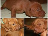 Собаки, щенята Угорська вижла, ціна 12000 Грн., Фото