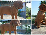 Собаки, щенки Венгерская выжла, цена 12000 Грн., Фото