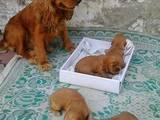 Собаки, щенята Англійський коккер, ціна 1500 Грн., Фото