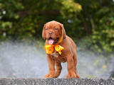 Собаки, щенята Бордоський дог, ціна 15000 Грн., Фото