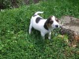Собаки, щенята Естонський гончак, ціна 1000 Грн., Фото