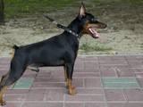 Собаки, щенята Пінчер, ціна 7000 Грн., Фото