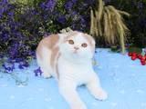 Кішки, кошенята Шотландська висловуха, ціна 15000 Грн., Фото