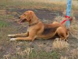 Собаки, щенки Эстонская гончая, цена 500 Грн., Фото