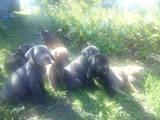 Собаки, щенята Кане Корсо, ціна 2500 Грн., Фото