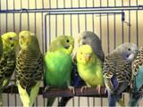 Попугаи и птицы Попугаи, цена 90 Грн., Фото