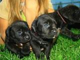Собаки, щенки Кане Корсо, цена 2600 Грн., Фото