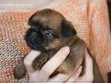Собаки, щенки Брюссельский гриффон, цена 10000 Грн., Фото