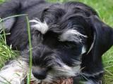 Собаки, щенята Цвергшнауцер, ціна 2900 Грн., Фото