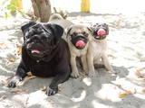 Собаки, щенята Мопс, ціна 5500 Грн., Фото