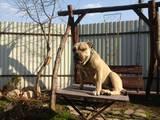 Собаки, щенята Мальоркскій бульдог (Ка Де Бо), ціна 10000 Грн., Фото