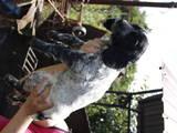 Собаки, щенки Русский спаниель, цена 1000 Грн., Фото