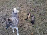 Собаки, щенки Западно-Сибирская лайка, цена 800 Грн., Фото