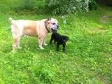 Собаки, щенята Кане Корсо, ціна 12500 Грн., Фото