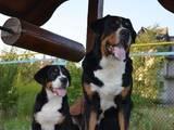 Собаки, щенята Великий Швейцарський зенненхунд, ціна 32000 Грн., Фото