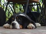 Собаки, щенки Большой Швейцарский зенненхунд, цена 32000 Грн., Фото