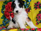 Собаки, щенята Жорсткошерстий фокстер'єр, ціна 20000 Грн., Фото