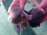 Кошки, котята Корат, цена 300 Грн., Фото