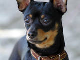 Собаки, щенки Русский гладкошерстный тойтерьер, цена 400 Грн., Фото