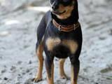 Собаки, щенята Російський гладкошерстий тойтерьер, ціна 400 Грн., Фото