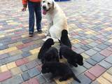 Собаки, щенки Лабрадор ретривер, цена 2000 Грн., Фото