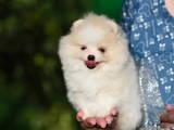 Собаки, щенята Померанський шпіц, ціна 35000 Грн., Фото