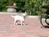 Собаки, щенки Чихуа-хуа, цена 15000 Грн., Фото