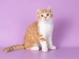 Кішки, кошенята Шотландська короткошерста, ціна 4000 Грн., Фото