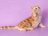 Кошки, котята Шотландская короткошерстная, цена 5000 Грн., Фото