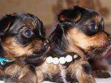Собаки, щенки Йоркширский терьер, цена 5500 Грн., Фото