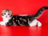 Кошки, котята Шотландская вислоухая, цена 2800 Грн., Фото