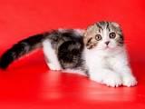 Кішки, кошенята Шотландська висловуха, ціна 3000 Грн., Фото