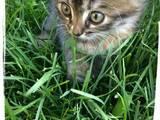 Кішки, кошенята Безпорідна, ціна 0.10 Грн., Фото
