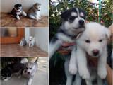 Собаки, щенки Сибирский хаски, цена 20000 Грн., Фото